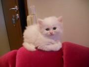 кошенята Турецькоi Ангори