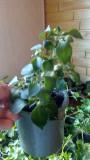 Продам бальзамин махровый,ампельную пеларгонию,фиалки цветущие
