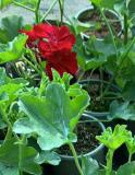 Продам бальзамин махровый,ампельную пеларгонию,цветущие фиалочки