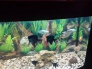 Продам аквариумные рыбки по парам