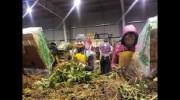 Вакансії Праці в Польщі-сортувальник саджанців полуниці