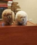 Продаются прекрасные щенки чау-чау