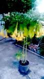 Бругмансия жёлтая