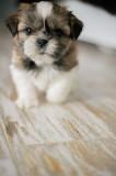 Продам щенка ши тцу в Житомире.
