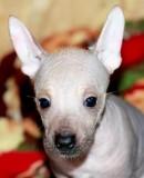 Продам щенки Мексиканской Голой