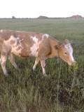 Продам телочку на корову