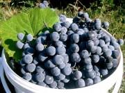 Продам винный виноград